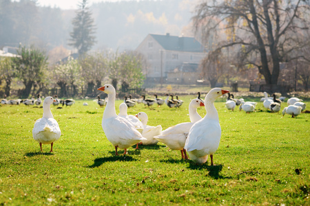 arboleda: The herd of white adult geese grazing at the countryside on the farm on a green grove.