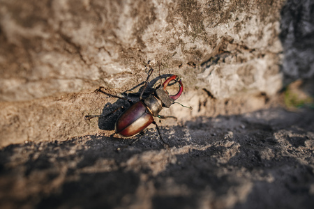 coleoptera: Beetle of lucanus lucanus cervus or stag beetl in wildlife on rock close up image. Stock Photo