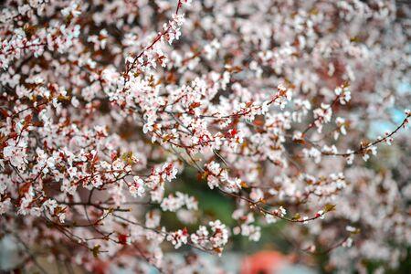 Sakura Flower or Cherry Blossom With Beautiful Nature