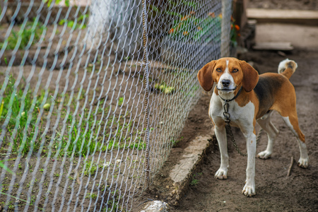 Beagle is tied to a leash near the metal mesh.