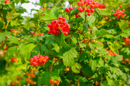 Bright red berries of a guelder-rose or Viburnum opulus bush on a sunny day in the Dutch summer season