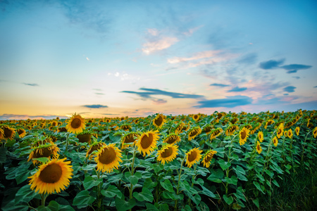 A plantation of beautiful yellow-green sunflowers after sunset at twilight against a beautiful light sky with fluffy clouds.