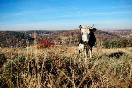 One horned black and white cow grazing on the autumn glade and staring at the camera on the background of country.