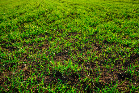 Close-up view on the farm cornfield with green grass and soil in countryside.