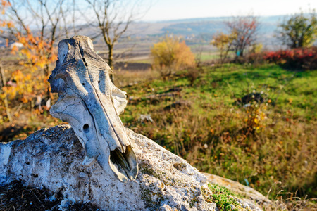 Close-up background of bulls head skeleton lies on the stone against the background of the greenfield.