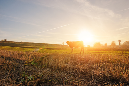 One cow in a full height is grazing on the autumn field from afar on the background of beautiful sunset.