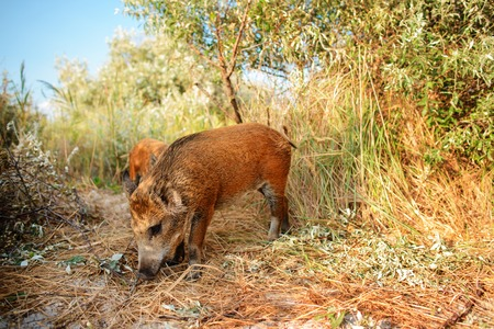 Wild boar walking in forest on foggy morning and looking at camera. Wildlife in natural habitat.