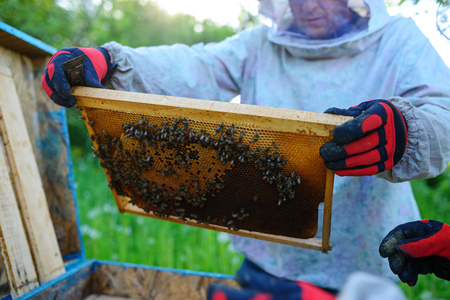 The beekeeper takes the frame with honeycomb from the hive.