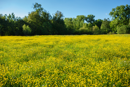 Summer landscape with textured sky and grazing herd of cows on the field, overgrown with yellow flowers. Background