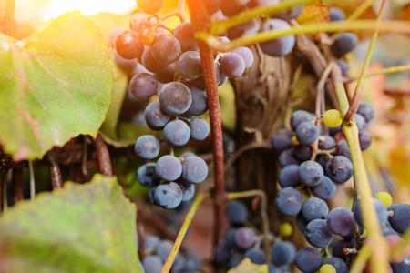 Blue grape cluster against sunlight closeup view. Archivio Fotografico - 118032613