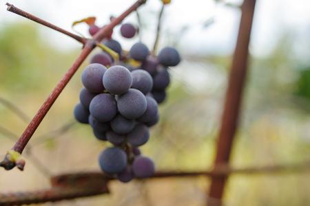 Blue grape cluster against sunlight closeup view.