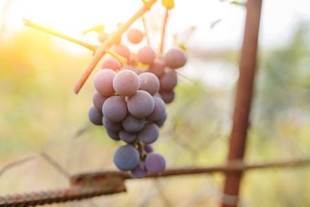 Blue grape cluster against sunlight closeup view. Archivio Fotografico - 118032660
