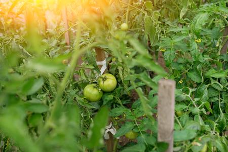 In modern polycarbonate greenhouses grow pepper seedlings. Archivio Fotografico - 118032745
