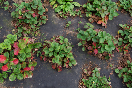strawberry seedlings in a green house on a farm.