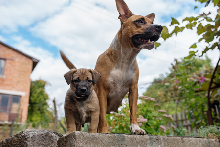 Strong and beautiful American staffordshire terrier and a puppy. Stock fotó