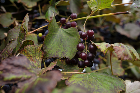 Blue grape cluster against sunlight closeup view. Archivio Fotografico - 118032860