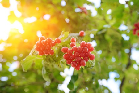 Closeup of bunches of red berries of a Guelder rose or Viburnum. Shrub on a sunny day at the end of the summer season
