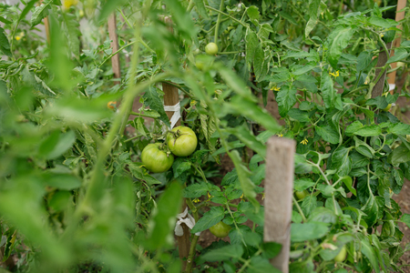 In modern polycarbonate greenhouses grow pepper seedlings.