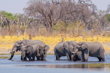 Elephant Herd crossing a river in the Okavango Delta in Botswana, Africa.