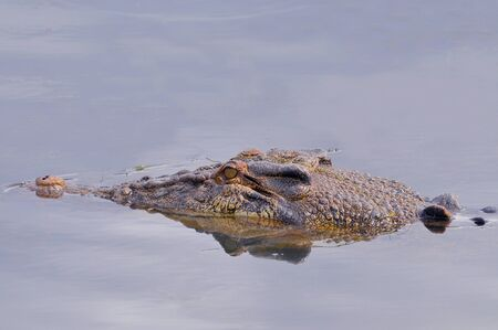 A large saltwater crocodile swimming in the South Alligator river, in Kakadu National Park, Australia.