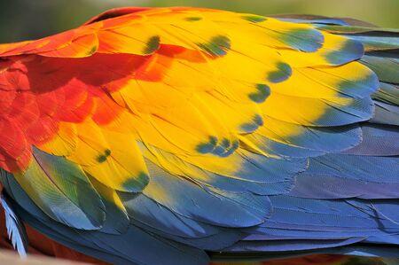 Cerca de colorido guacamayo escarlata (Ara macao) un gran loro sudamericano rojo, amarillo y azul, Guatemala.