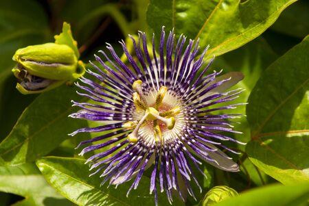 Passiflora incarnata, communément la passiflore pourpre, est une vigne vivace à croissance rapide. Connu sous le nom de Krishna Kamal en Inde.