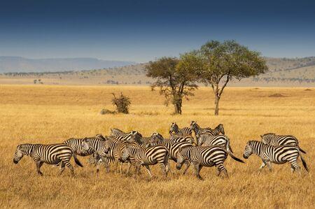 Herde von Plains Zebras im Serengeti Nationalpark, Tansania. Ebenen-Zebra (Equus Quagga, früher Equus Burchellii), auch bekannt als das gemeinsame Zebra oder Burchell-Zebra.
