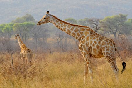 Two giraffes (Giraffa) in Waterberg Plateau Park a national park in central Namibia. Stock Photo