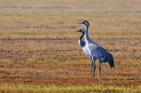 The common cranes (Grus grus), also known as the Eurasian cranes, Biebrzanski National Park, Poland.