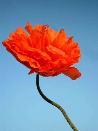Red poppy with blue sky as background