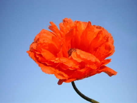 Red poppy with blue sky as background photo