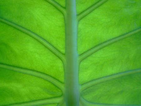 nervure: Green leaf