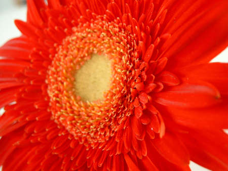 Red gerbera depth field Stock Photo