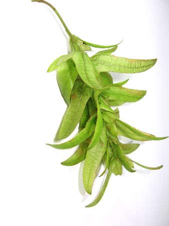 inflorescence: Green elm inflorescence Stock Photo