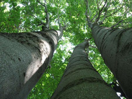Three brother beeches