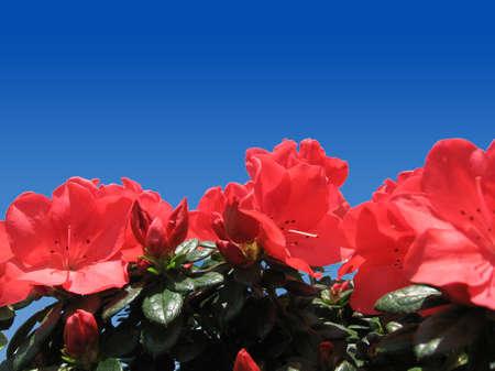 Azalea flowers with deep blue sky as background photo