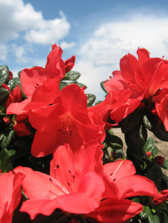 Azalea flowers with sky and clouds as background