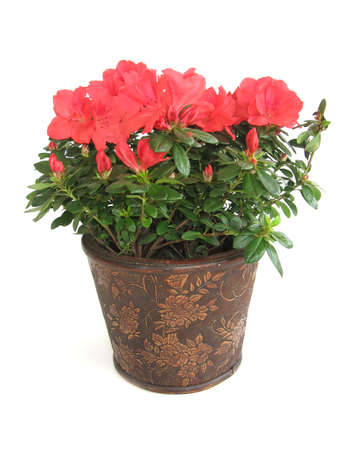 Azalea flower in a brown pot isolated over white