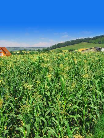 Corn field in July