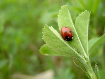 Lady Bug on alfalfa leaf