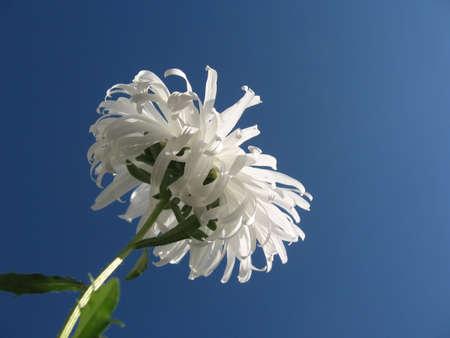 White chrysanthemum against the sky photo