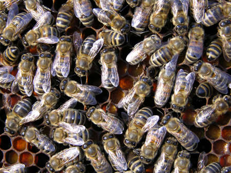 Bees in a hive Stock Photo