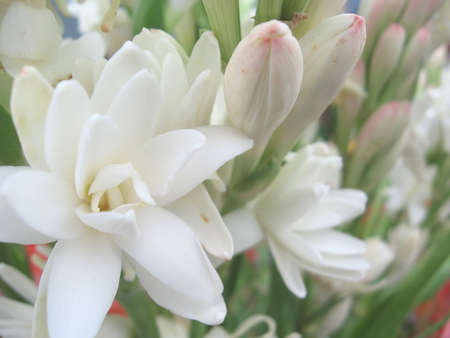 White tuberose close view