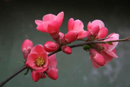 Branch with red flowers and buds