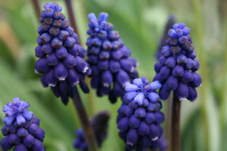 Close-up of blue hyacint in the garden photo
