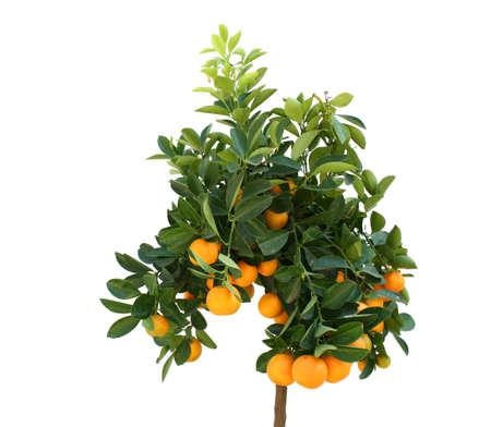 Tangerine tree with plenty of fruits isolated on white Stock Photo