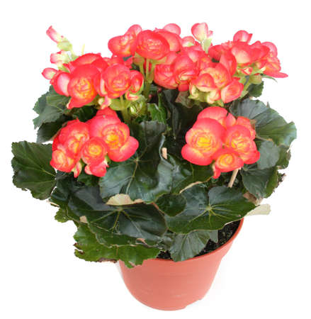 Red begonia in a pot isolated on white Stock Photo