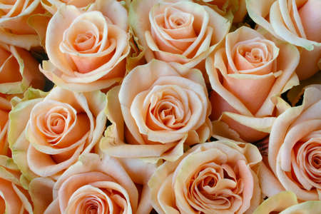 Pink roses as beautiful texture in close view Stock Photo