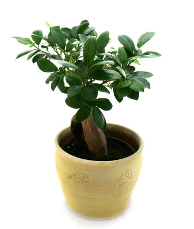 Little bonsai in yellow pot isolated over white Stock Photo