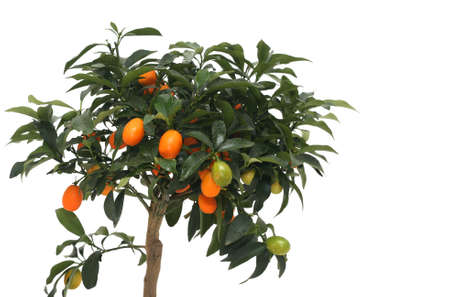 Little indoor mandarin isolated over white with plenty of fruits Stock Photo